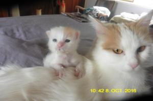 Yenicizgi Turkish Van Cats
