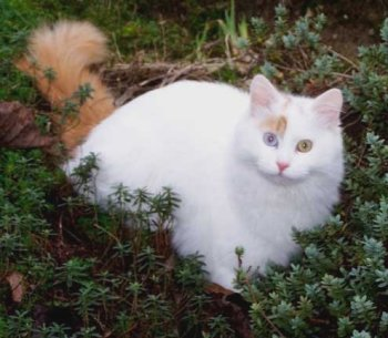 818f8ac891cc19 Klassyklogs Keramet is a delightful odd-eyed Auburn Turkish Van bred by  Jane Tackley. Flash has recently been neutered and is rapidly growing a  very full ...
