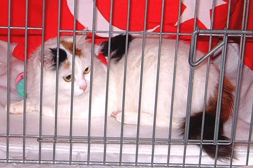 8d6aace86252f8 The TVCC exhibiting a stunning tortie point Turkish Van in the World of Cats  at the National Cat Club